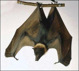 Name:  fruit bat.jpg Views: 353 Size:  15.9 KB