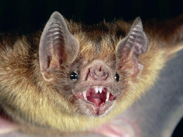Name:  common-vampire-bat_505_600x450.jpg Views: 361 Size:  43.8 KB